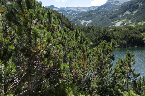 Plexiglas Khaki Macedonian pine (Pinus peuce) on Pirin Mountain, Bulgaria