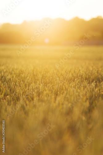 Fotobehang Meloen wheat field grass. agriculture plant background.