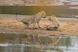 Yonung Male Lions Playing