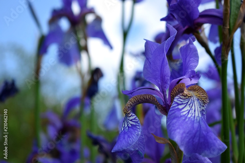 Fotobehang Iris Violet irises on a flower bed in the garden