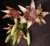 Bouquet of lily flowers on a dark coloured background