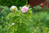 rose in the garden - 210472321