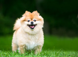 A cute Pomeranian dog with a happy expression - 210476720