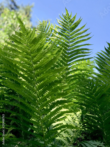 Fern branches on the sky background  - 210488763