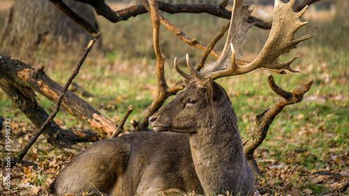 A deer sunbathing in Richmond Park, London