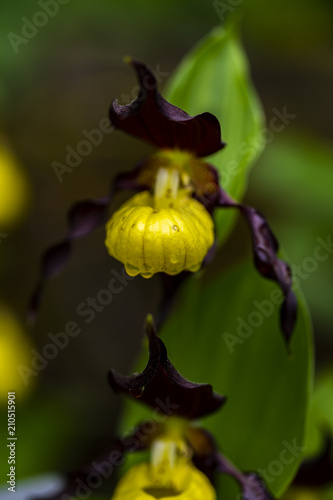 Lady slipper orchid in the garden