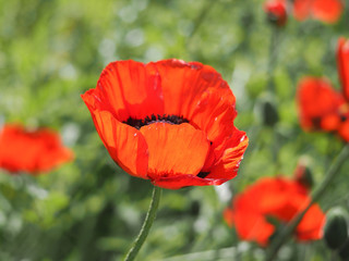 Beautiful red poppy flower on green natural background