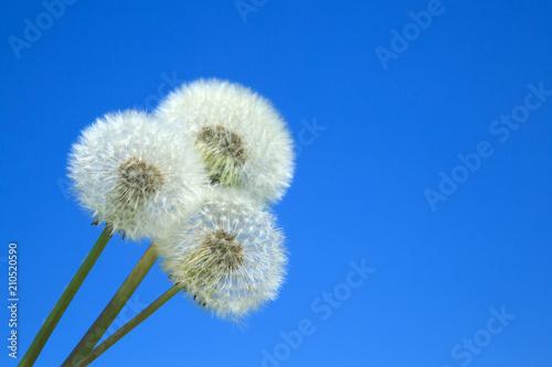 Aluminium Paardenbloemen Pusteblumen