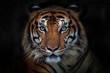 Angry tiger,Sumatran tiger (Panthera tigris sumatrae) beautiful animal and his portrait