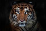 Zły tygrys, tygrys sumatrzański (Panthera tigris sumatrae) piękne zwierzę i jego portret