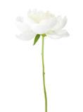 White peony isolated on white background. - 210559963