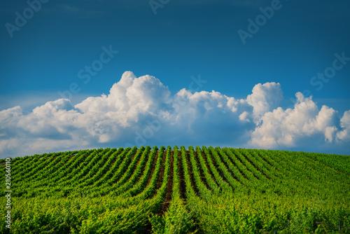 Aluminium Wijngaard Fields of grapes in the summer