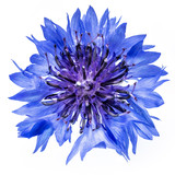 isolated cornflower blue on a white background