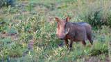 Warzenschwein in Afrika - 210578309