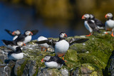Colorful Atlantic Puffin or Comon Puffin Fratercula Arctica in Northumberland England on bright Spring day - 210580322