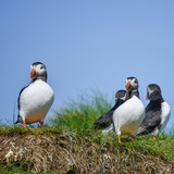 Colorful Atlantic Puffin or Comon Puffin Fratercula Arctica in Northumberland England on bright Spring day - 210580385
