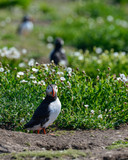 Colorful Atlantic Puffin or Comon Puffin Fratercula Arctica in Northumberland England on bright Spring day - 210580552
