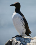 Beautiful Common Guillemot on cliff face on bright Spring day - 210580584
