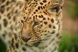 Beautiful close up portrait of Jaguar panthera onca in colorful vibrant landscape - 210580900