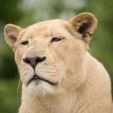 Beautiful close up portrait of white Barbary Atlas Lion Panthera Leo - 210580912