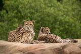 Beautiful close up portrait of Cheetah Acinonyx Jubatus in colorful landscape - 210580931