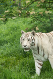 Beautiful portrait image of hybrid white tiger Panthera Tigris in vibrant landscape and foliage - 210580977
