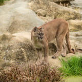 Stunning image of Puma Concolor among rocks in colorful landscape - 210580978