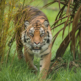 Beautiful portrait of tiger Panthera Tigris walking through long grass in vibrant landscape - 210580988