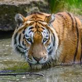 Portrait of Siberian Amur tiger Panthera Tigris Tigris in Summer - 210581118