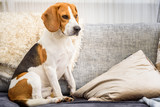 Beagle dog sitting on a couch - 210583514