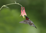 Male Ruby-throated Hummingbird feeding at a Wild Columbine flower