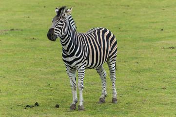 Standing Zebra