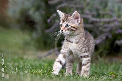 Fotobehang Kat Small gray striped european shorthair cat plays in the garden