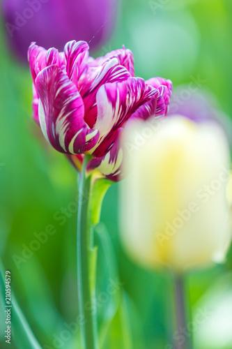 Gesprenkelte Tulpe