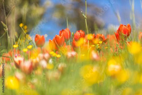 Tulpen auf einer Blumenwiese