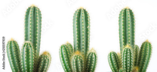 beautiful grown cactus isolated on white, can be used as background - 210597939