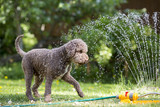 Brown dog playing with a water sprinkler outdoors. Hot summer day. - 210619923