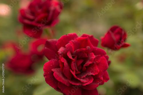 Foto Spatwand Bordeaux 薔薇(ミッドナイト)