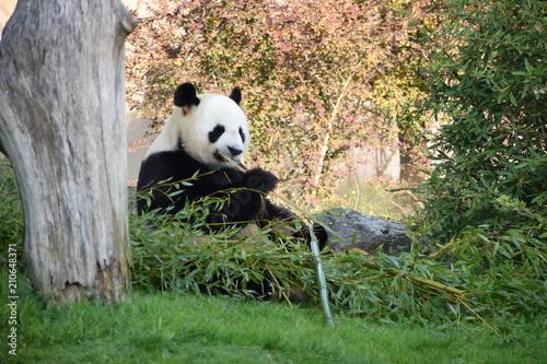 Plexiglas Panda Panda géant