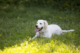 Golden retriever is laying in the grass field. Outdoor park, summer day. - 210651978