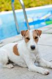 Parson Terrier am Swimmingpool