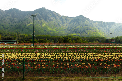 Aluminium Tulpen Quand jeSemi wide angle of the Tulip Garden (Mughal Garden) fields and backround of mountain in the city of Srinagar in the disputed Kashmir Valley of the Himalaya, Jammu a part, il se met à pleuvoir.
