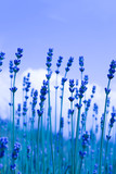 Beautiful violet wild lavender meadow backdrop. A field of purple lavandula herbs blooming in a french provence.