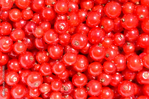 Ripe and washed red currants. View from above on bright sunlight. - 210685985