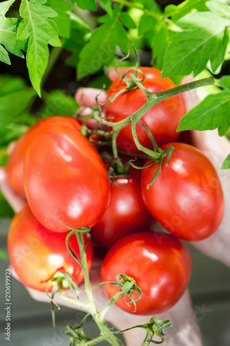 Female hands with fresh plum tomatoes
