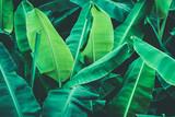 Tropical banana leaves, Nature dark green background