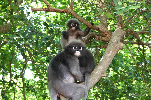 Fotobehang Aap trachypithecus obscurus on tree at southern Thailand