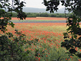 blühender Lavendel in der Provence – zwischen Klatschmohn-  und Getreidefeldern