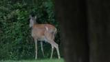 Deer eating leaves - 210712588