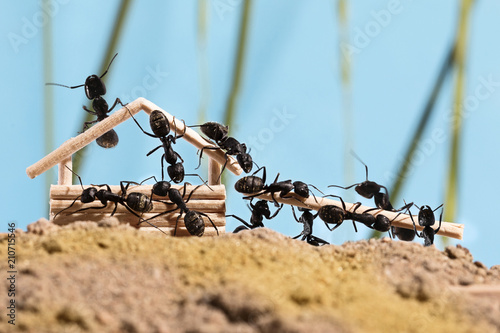 Foto Murales Ants are building wooden house (Lasius niger)